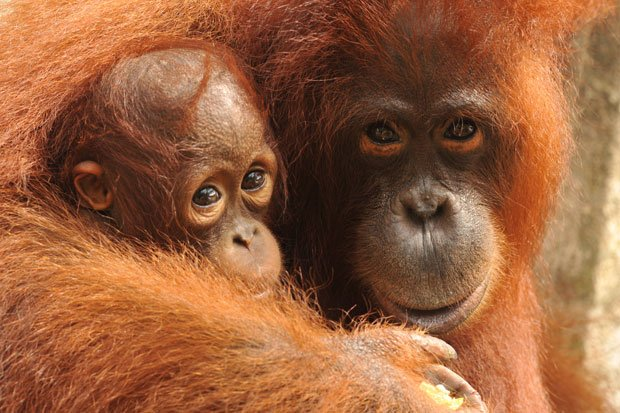 A mother orangutan cuddles her baby.