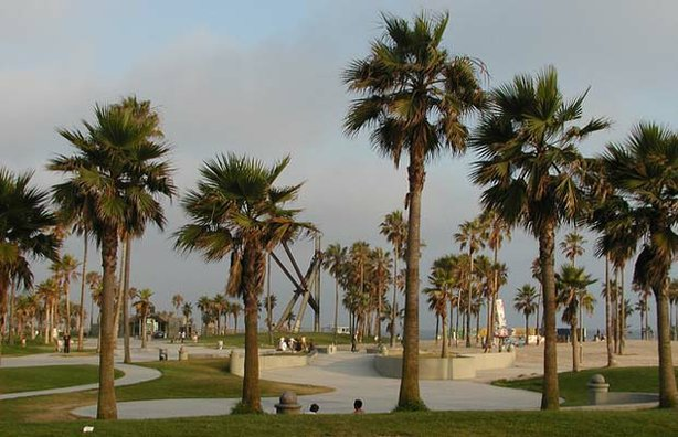 Washingtonia Filiferas in Venice Beach, California.