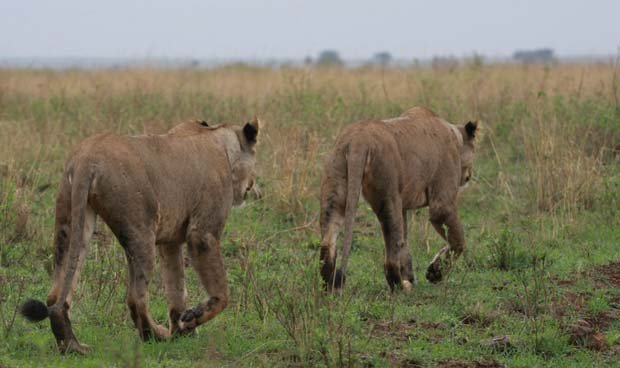 Two roaming African lions as featured in