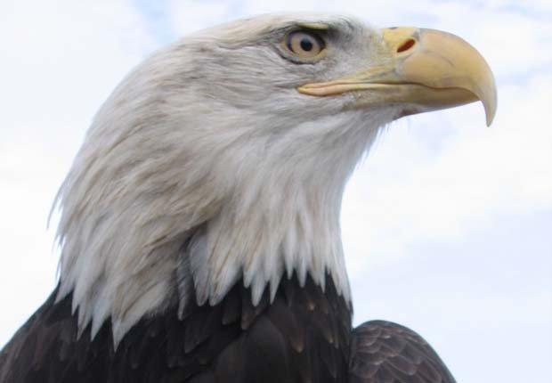 Close-up shot of a bald eagle. Unique to North America, the bald eagle is the...