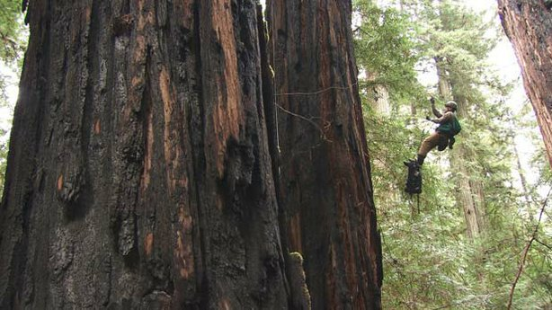 Botanist Steve Sillett ascends a 350-foot redwood in order to study the effec...