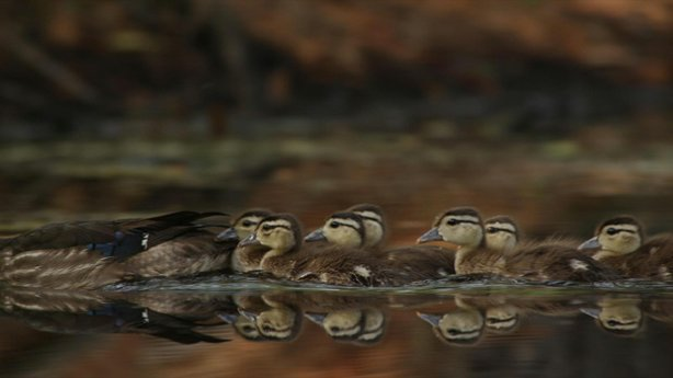 Wood Duck ducklings from Katonah, New York.
