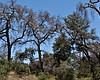 Invasive Beetle Devouring San Diego's Oak Trees