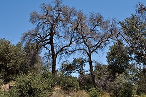 Additional 27 Million Trees Have Died In California In Th...