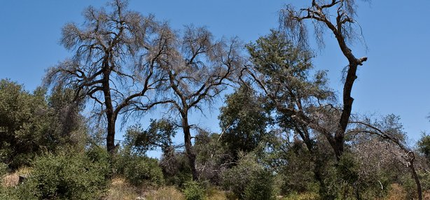 These dead trees in the Cleveland National Forest in San Diego County are a casualty of the goldspotted oak borer beetle.