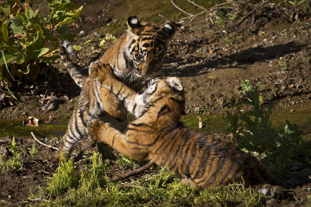 Sumatran tiger cub Joanne pounced on her sister, Majel, during a play session at the San Diego Zoo Safari Park.