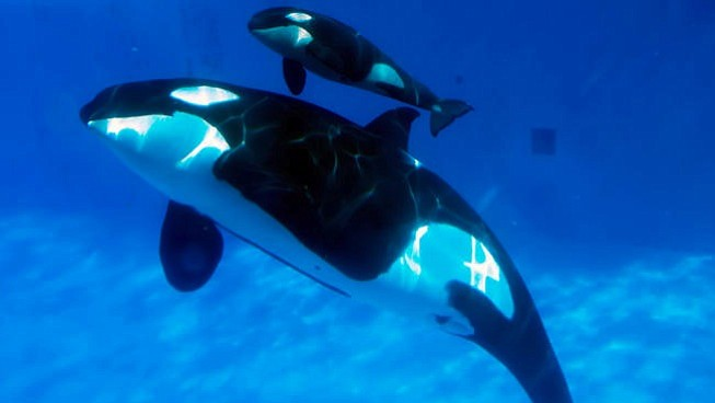 A baby killer whale swims with another whale at SeaWorld San Diego, Feb. 14, ...