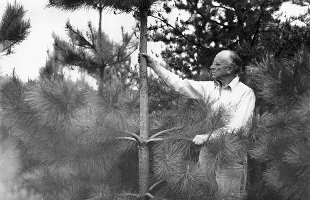 Aldo Leopold inspecting pine trees at the Leopold Shack, 1946.