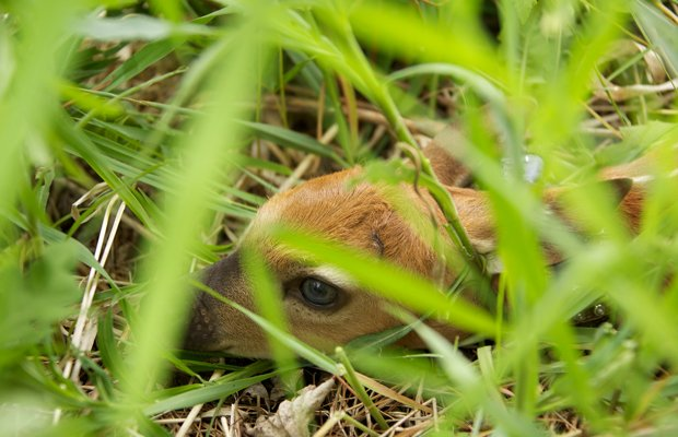 Newborn fawn hiding in grass.