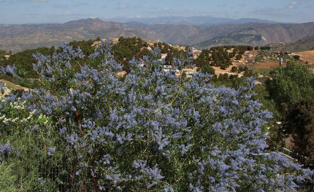 California lilac blooming in the hills.