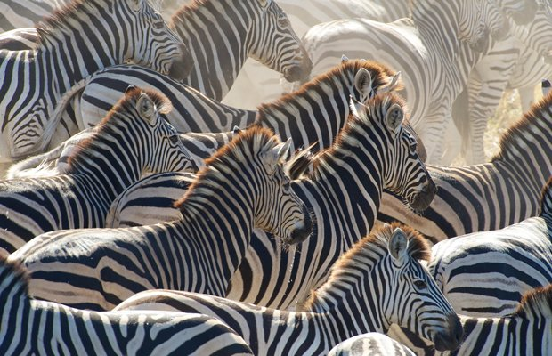 A herd of zebra stampedes along the Boteti River, Makgadikgadi Pans National ...