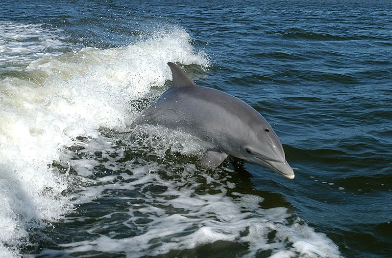 Bottlenose Dolphins are among the top species in Navy's Marine Mammal Program.