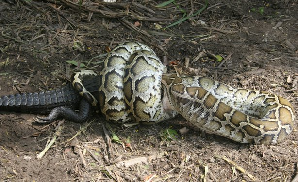 A giant python swallows an alligator in Florida's Everglades National Parks. ...