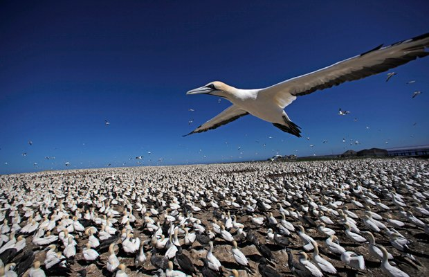 Cape gannet flying over gannet colony, Bird Island, South Africa.