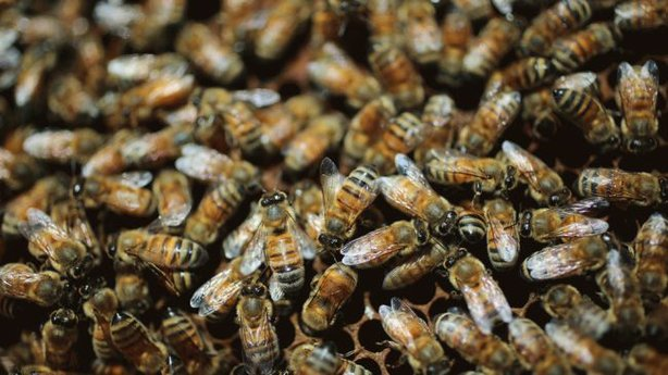 Bee populations in San Diego County and across the nation have declined sharply since 2006. Nearly a third of all colonies in the country died off last year.