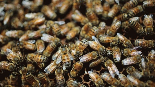 Bee populations in San Diego County and across the nation have declined sharp...