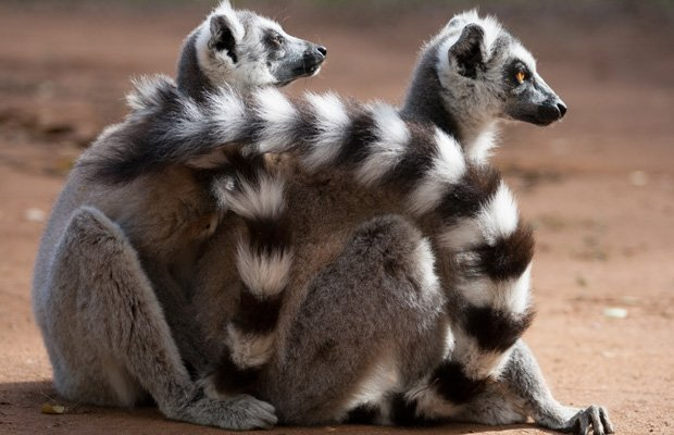 Two ring-tailed lemurs in an embrace.