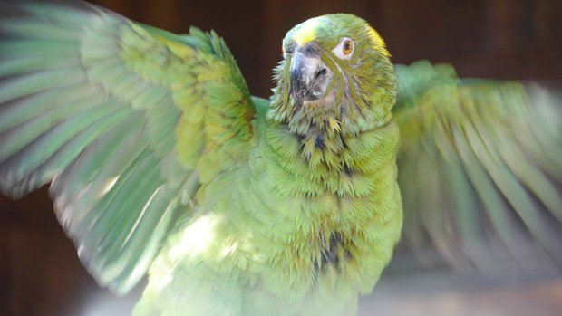Yellow-naped Amazon parrot enjoying a bath at the Santa Barbara Bird Farm, Mo...