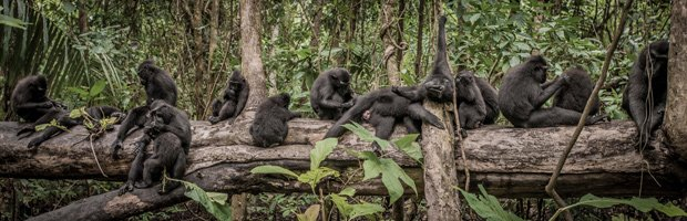 Crested Black Macaque troop grooming on a log.