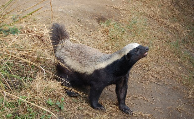 A honey badger is in confrontation stance, tail up, ready for action, Moholoh...