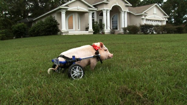 Chris P. Bacon the pig on a lawn, Sumterville, Florida. When a piglet, born with deformed, unusable back legs, was brought to veterinarian Dr. Len Lucero's clinic to be euthanized, the Florida vet offered to take care of him. Dr. Lucero built a wheeled harness from some of his son's old toys so newly named pet Chris P. Bacon could move around. The porcine pet has since graduated to a wheelchair originally built for dogs, having outgrown his first homemade device.
