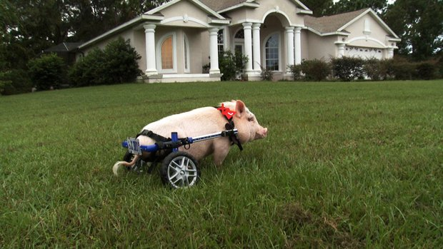 Chris P. Bacon the pig on a lawn, Sumterville, Florida. When a piglet, born w...