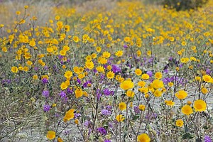 Anza Borrego Desert Wildflower Bloom A Bust After Dry Winter