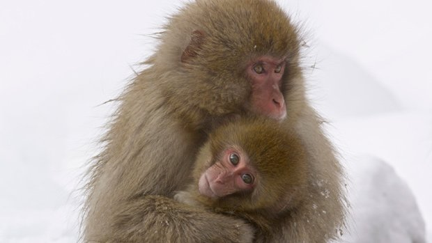 A juvenile holds her eight-month-old sister closely, Jigokudani, Japan. The s...