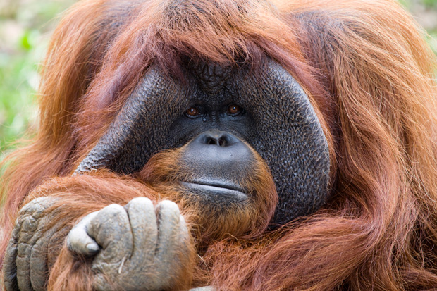 My Wild Affair  The Ape Who Went To College