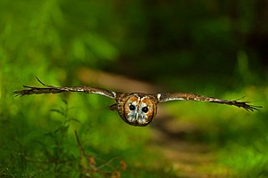 NATURE: Owl Power