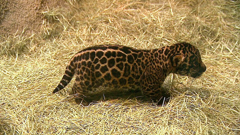 A baby jaguar is pictured walking through its den at the San Diego Zoo, March...