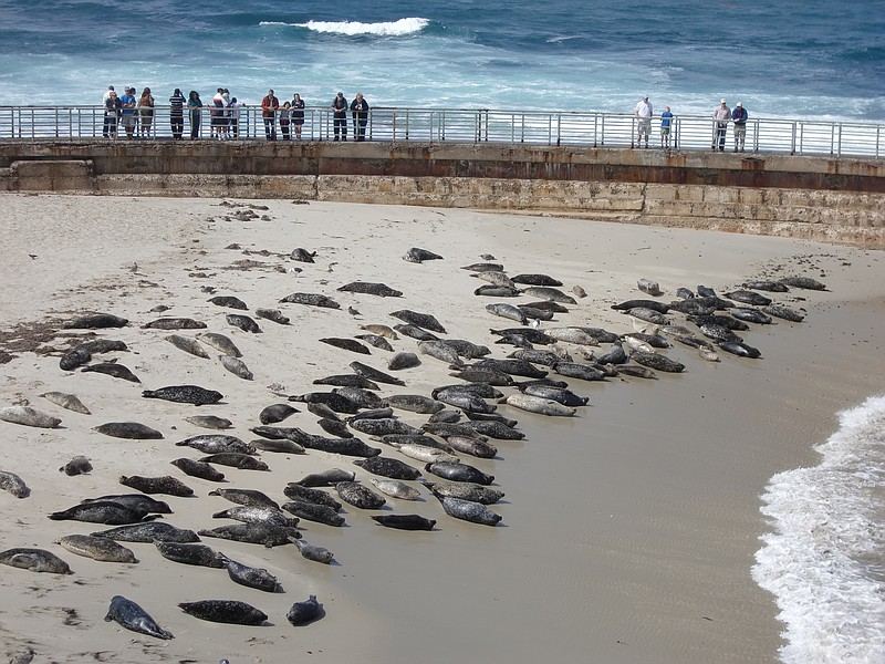 People watch harbor seals sun themselves on the beach at Children's Pool in L...
