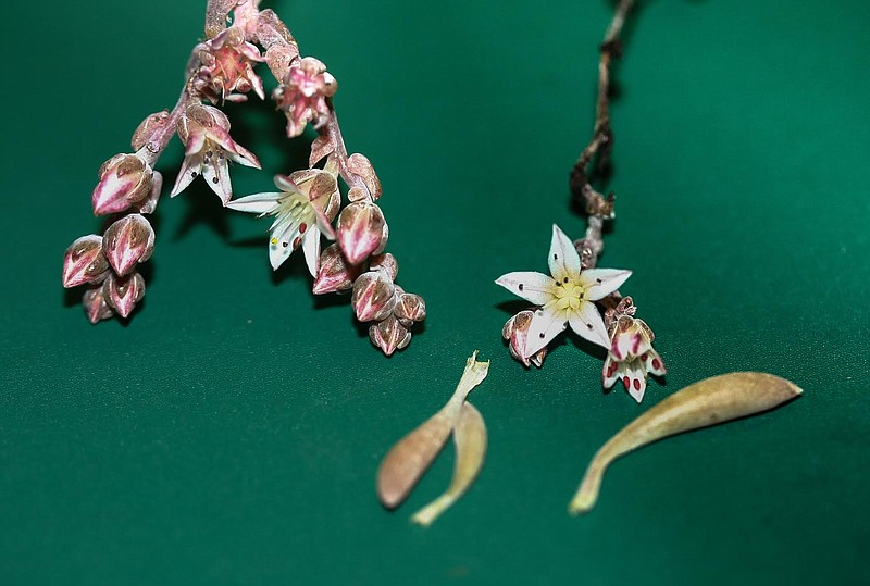 New species of succulent found in Baja California named Dudieya hendrixil aft...