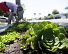 A woman works among drought-tolerant plants in ...