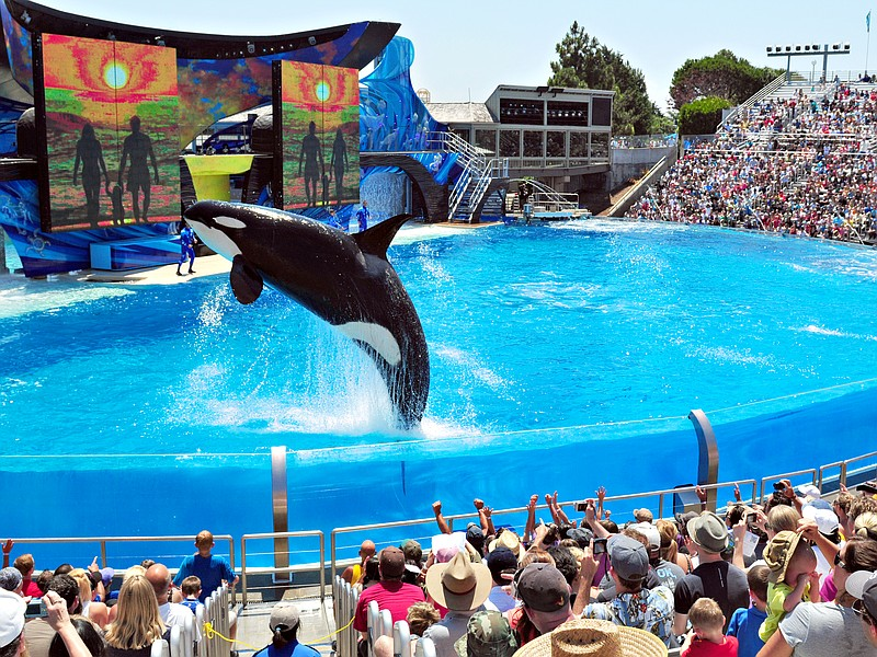 Shamu, the star of SeaWorld San Diego's One Ocean show, performs in this unda...