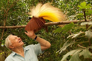 Attenborough's Birds Of Paradise