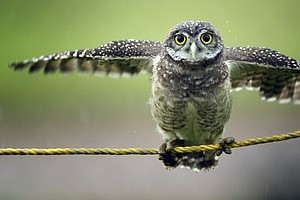 New Brown Field Project Aims To Protect Owl Species, Crea...