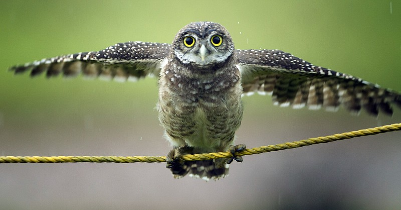 A Burrowing owl tries to perch on a protective rope in a public park as rain ...