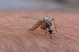 Drought Increases Severity Of West Nile Epidemics