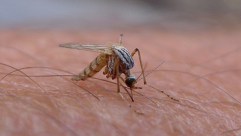 A mosquito bites a human, on June 20, 2014.
