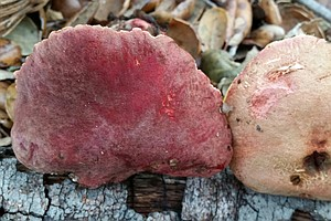 Which San Diego Mushrooms Are Poisonous?