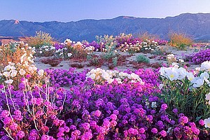 Super Bloom Of Wildflowers Days Away In Anza-Borrego Desert