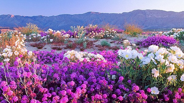 A field of Dune verbena wildflowers paints the Anza Borrego Desert floor.