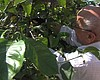 How Unpicked Fruit In Your Yard Can Help Refugees In San Diego