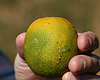 Board Of Supervisors Approves Efforts To Fight Destructive Citrus C...