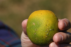 Board Of Supervisors Approves Efforts To Fight Destructive Citrus Crop Pest