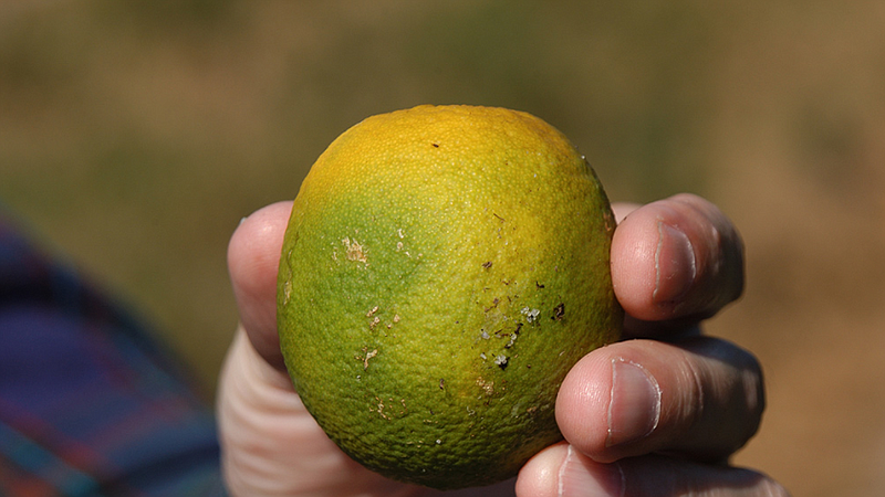 An orange with huanglongbing, known as citrus greening disease because it cau...