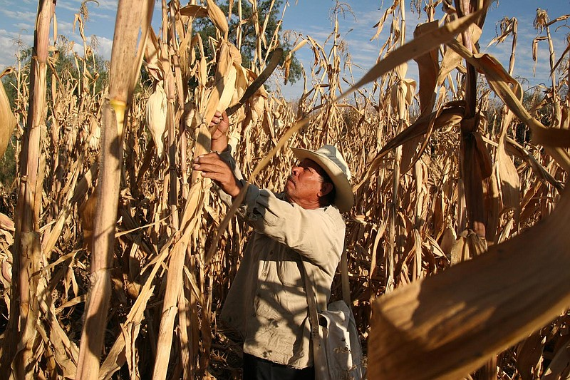 Corn has been cultivated in Mexico for 9000 years. Mexico is also the number ...