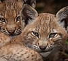 Lead photo NATURE: Forest Of The Lynx