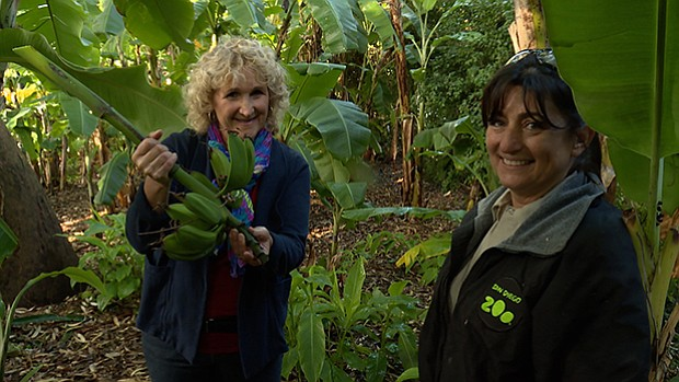 Host Nan Sterman and staff at the San Diego Zoo harvest banana browse.